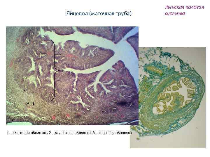 Яйцевод (маточная труба) 1 2 3 1 – слизистая оболочка, 2 – мышечная оболочка,