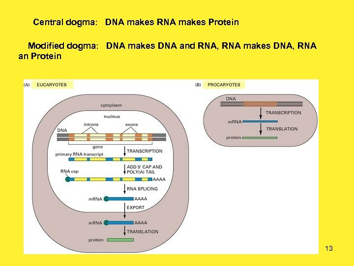 Central dogma: DNA makes RNA makes Protein Modified dogma: DNA makes DNA and RNA,