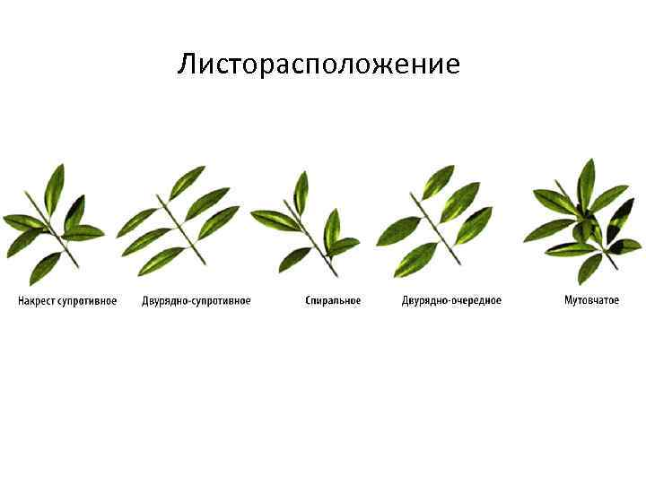 Листорасположение у растений в картинках подберите