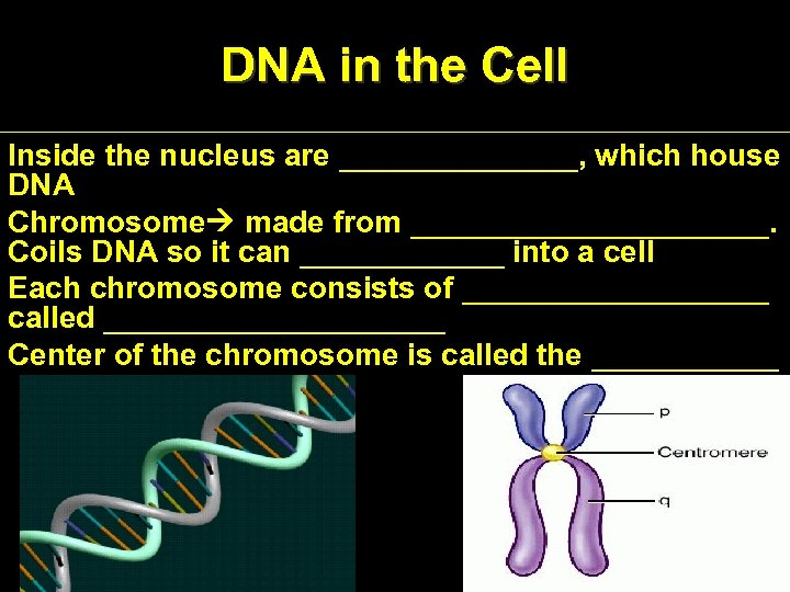 DNA in the Cell Inside the nucleus are _______, which house DNA Chromosome made