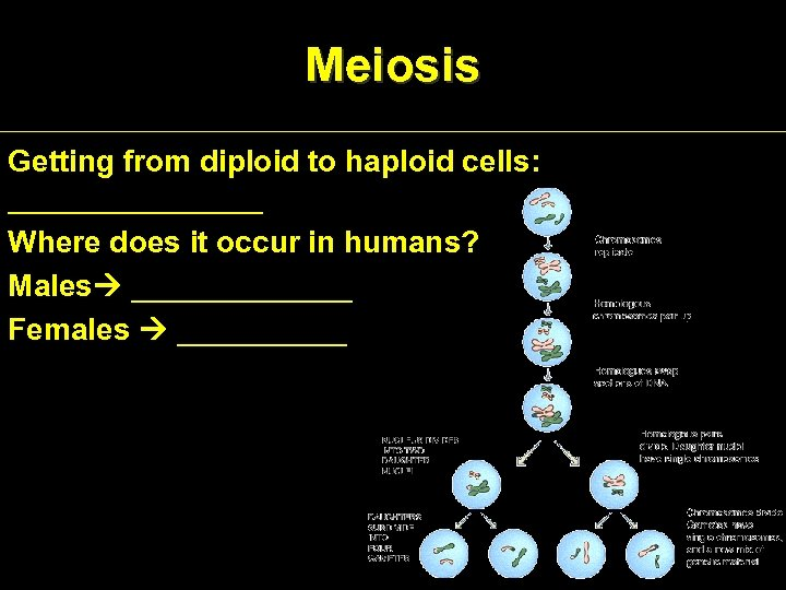 Meiosis Getting from diploid to haploid cells: ________ Where does it occur in humans?