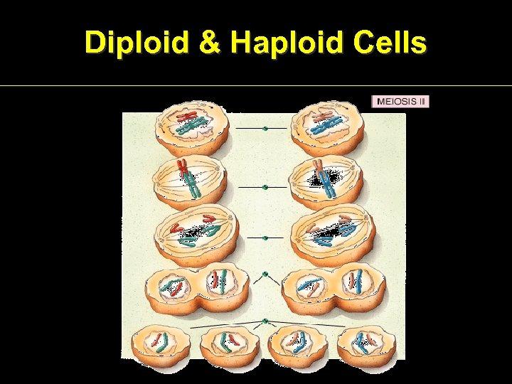 Diploid & Haploid Cells
