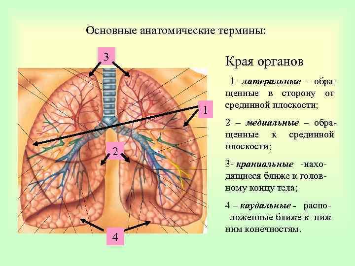 Основные анатомические термины: 3 Края органов 1 2 1 - латеральные – обращенные в