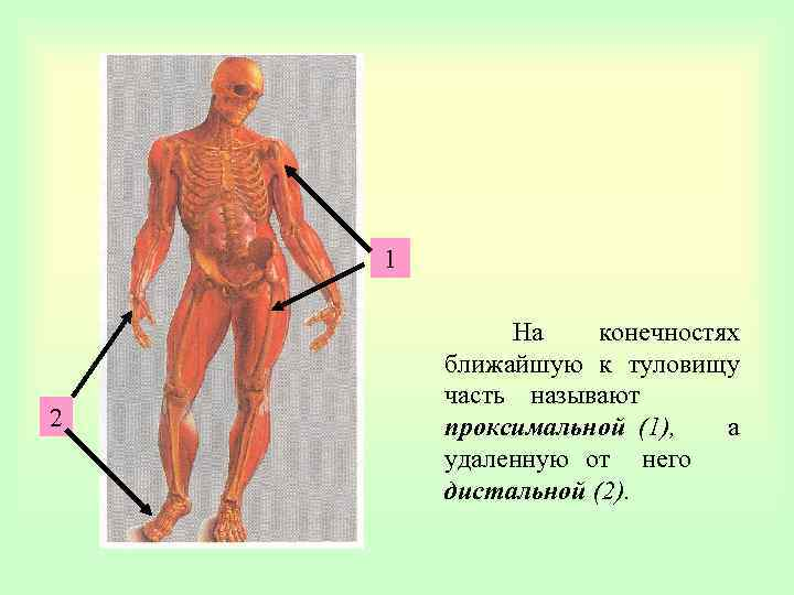 1 2 На конечностях ближайшую к туловищу часть называют проксимальной (1), а удаленную от