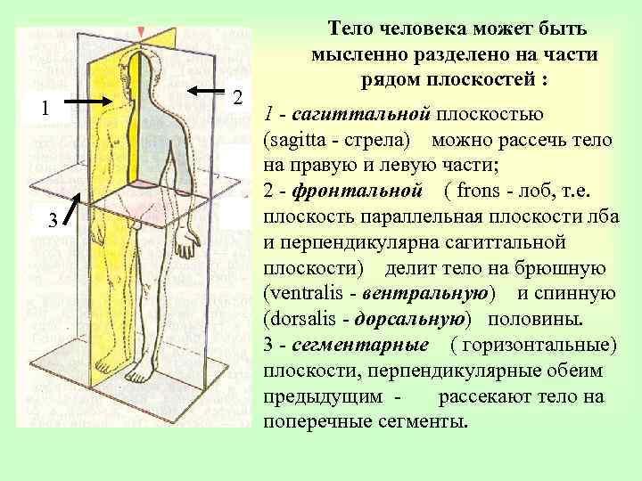 1 3 2 Тело человека может быть мысленно разделено на части рядом плоскостей :