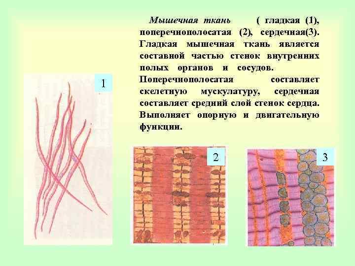 1 Мышечная ткань ( гладкая (1), поперечнополосатая (2), сердечная(3). Гладкая мышечная ткань является составной