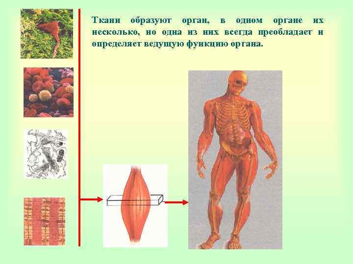 Ткани образуют орган, в одном органе их несколько, но одна из них всегда преобладает