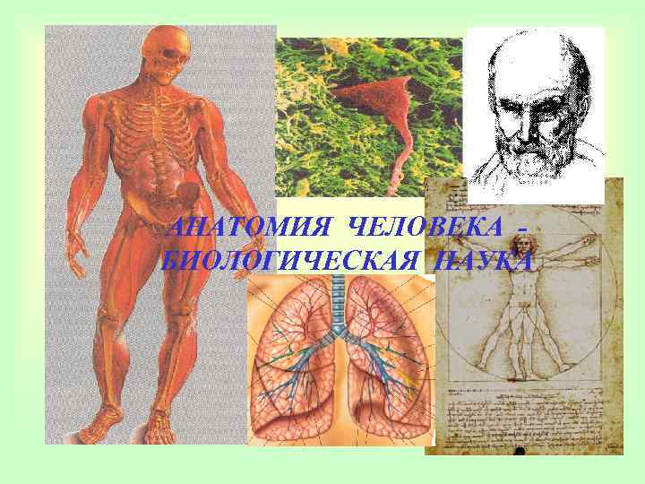 АНАТОМИЯ ЧЕЛОВЕКА - БИОЛОГИЧЕСКАЯ НАУКА
