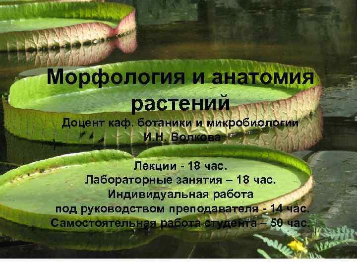 Морфология и анатомия растений Доцент каф. ботаники и микробиологии И. Н. Волкова Лекции -