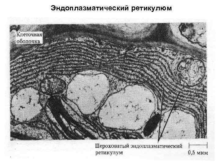 Эндоплазматический ретикулюм