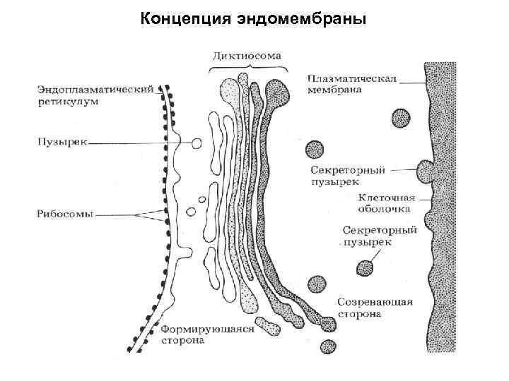 Концепция эндомембраны