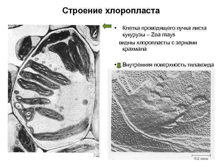 Строение хлоропласта • • Клетка проводящего пучка листа кукурузы – Zea mays видны хлоропласты