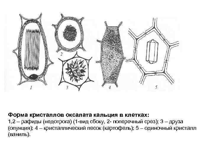 Форма кристаллов оксалата кальция в клетках: 1, 2 – рафиды (недотрога) (1 -вид сбоку,