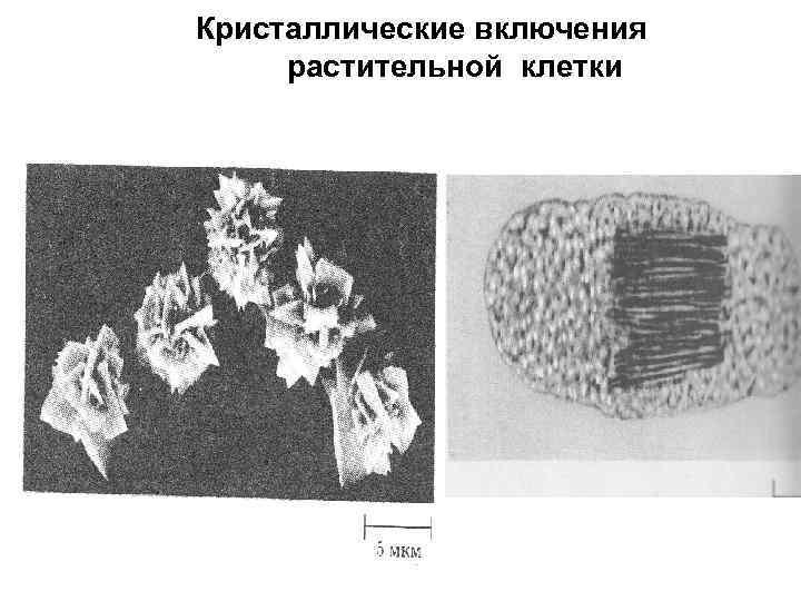 Кристаллические включения растительной клетки