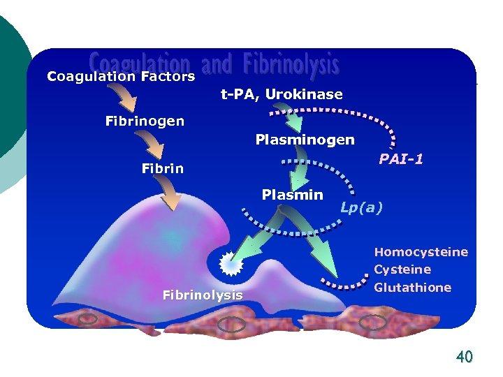 Coagulation and Fibrinolysis Coagulation Factors t-PA, Urokinase Fibrinogen Plasminogen PAI-1 Fibrin Plasmin Fibrinolysis Lp(a)