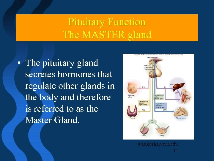 Pituitary Function The MASTER gland • The pituitary gland secretes hormones that regulate other
