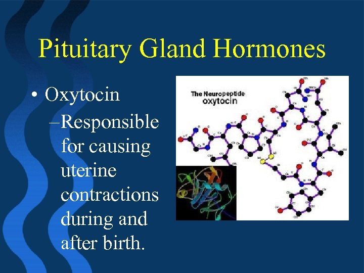 Pituitary Gland Hormones • Oxytocin – Responsible for causing uterine contractions during and after