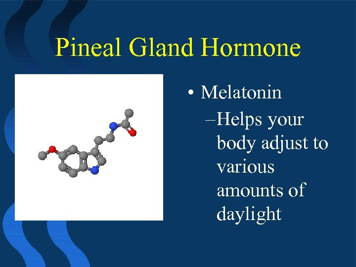 Pineal Gland Hormone • Melatonin – Helps your body adjust to various amounts of