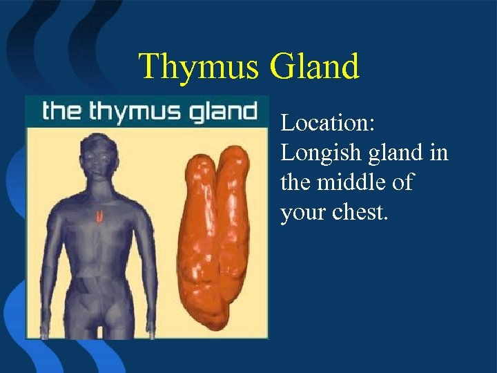 Thymus Gland • Location: Longish gland in the middle of your chest.