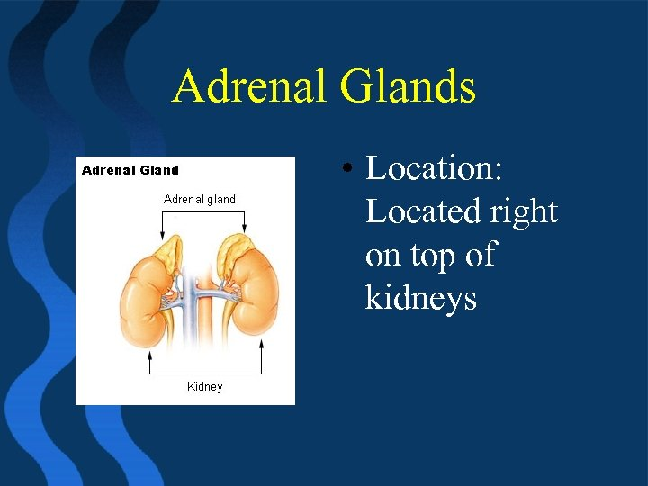 Adrenal Glands • Location: Located right on top of kidneys