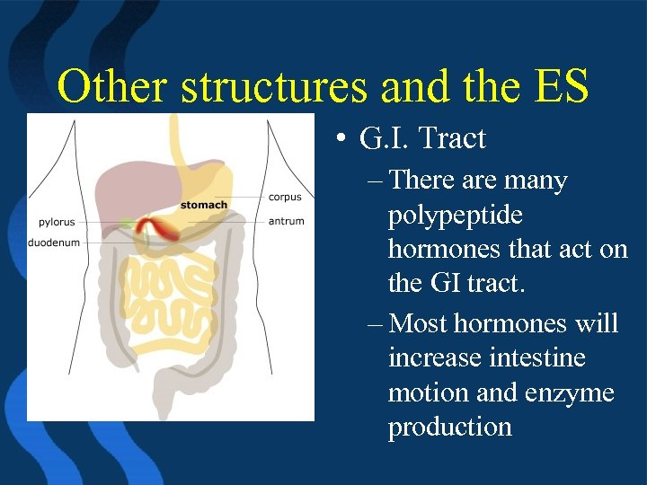 Other structures and the ES • G. I. Tract – There are many polypeptide