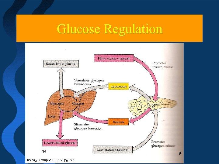 Glucose Regulation 10 9 Biology, Campbell. 1987. pg 896