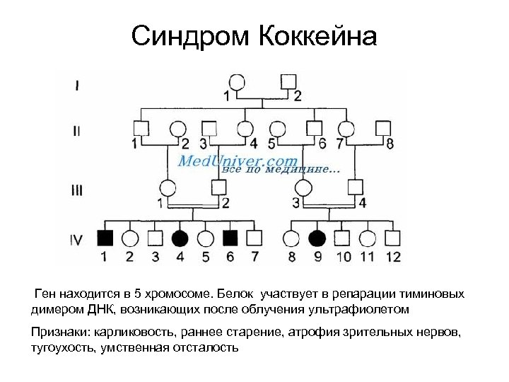 Синдром Коккейна Ген находится в 5 хромосоме. Белок участвует в репарации тиминовых димером ДНК,