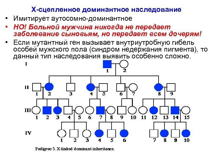 X-сцепленное доминантное наследование • Имитирует аутосомно-доминантное • НО! Больной мужчина никогда не передает заболевание