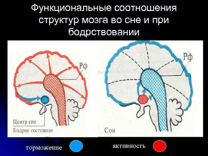 Функциональные соотношения структур мозга во сне и при бодрствовании торможение активность