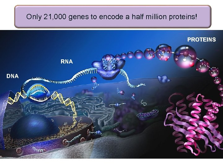 Only 21, 000 genes to encode a half million proteins! PROTEINS RNA DNA
