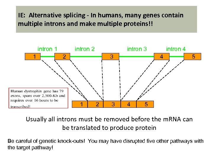 IE: Alternative splicing - In humans, many genes contain multiple introns and make multiple