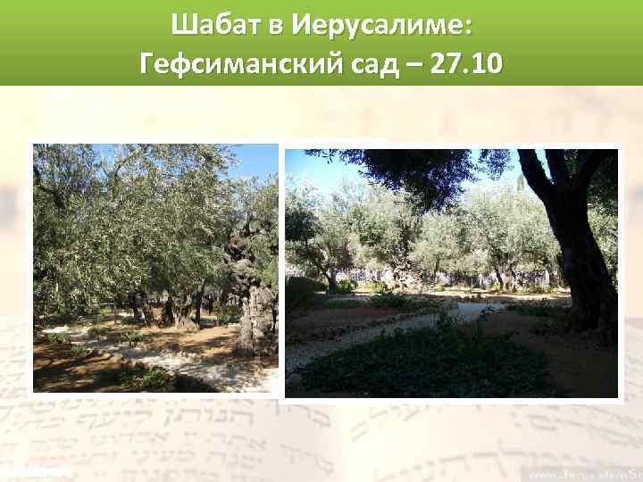 Шабат в Иерусалиме: Гефсиманский сад – 27. 10