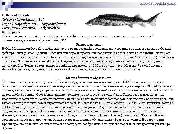 http: //redbook. krasu. ru Осётр сибирский Acipenser baerii Brandt, 1869 Отряд Осетрообразные — Acipenseriformes