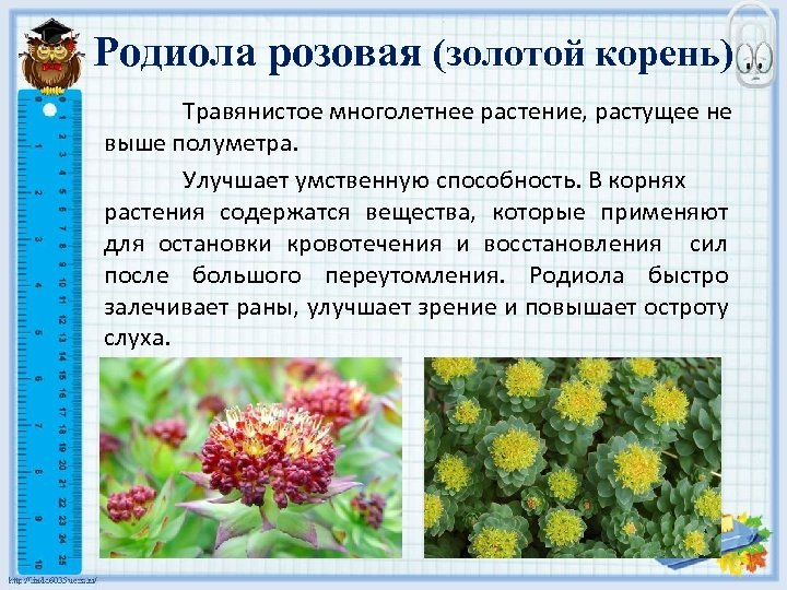Родиола розовая (золотой корень) Травянистое многолетнее растение, растущее не выше полуметра. Улучшает умственную способность.