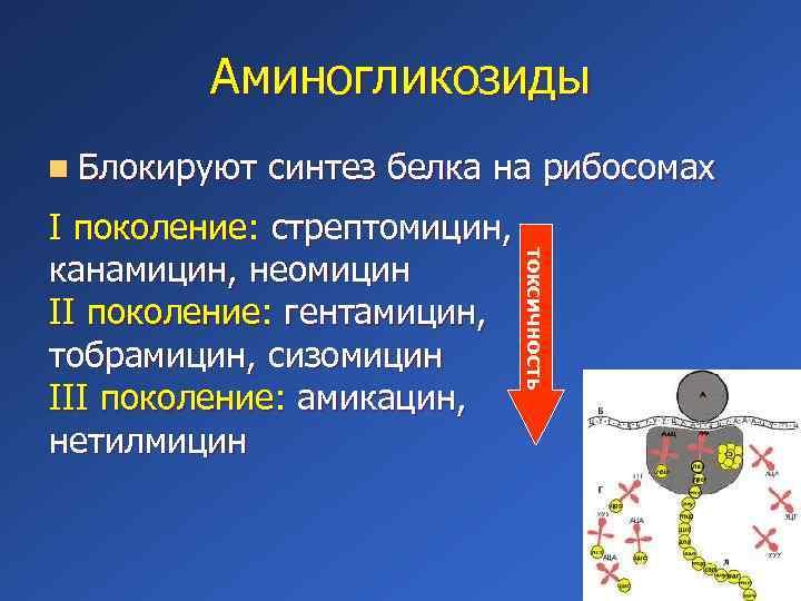 Аминогликозиды n Блокируют синтез белка на рибосомах токсичность I поколение: стрептомицин, канамицин, неомицин II