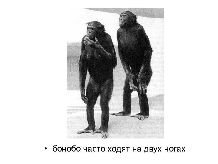 • бонобо часто ходят на двух ногах
