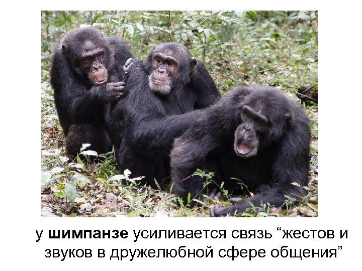 """у шимпанзе усиливается связь """"жестов и звуков в дружелюбной сфере общения"""""""