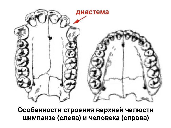 Особенности строения верхней челюсти шимпанзе (слева) и человека (справа)