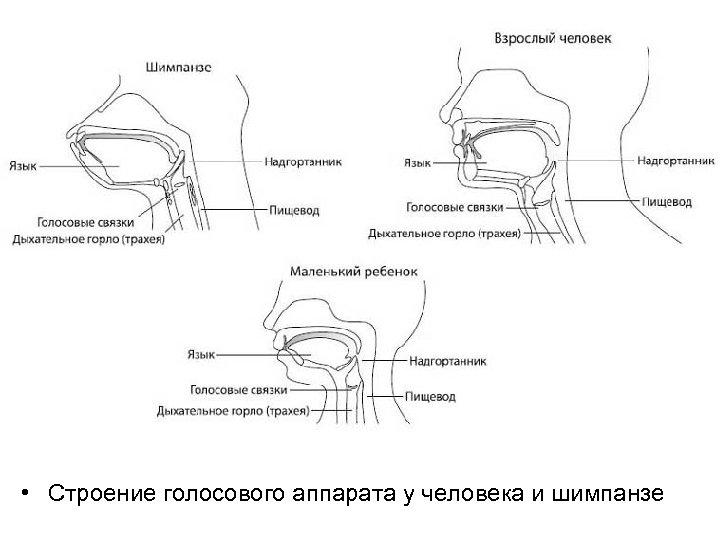 • Строение голосового аппарата у человека и шимпанзе