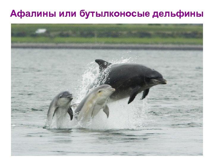 Афалины или бутылконосые дельфины