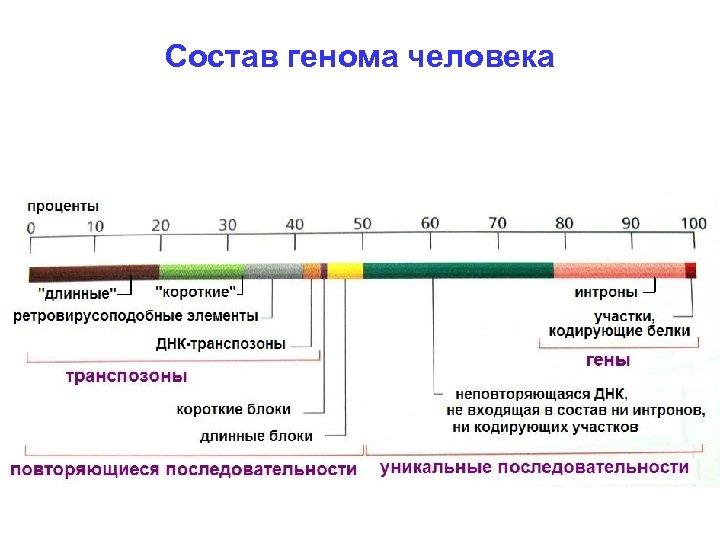 Состав генома человека