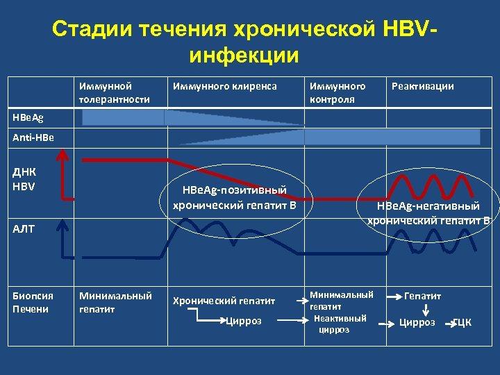 Стадии течения хронической HBVинфекции Иммунной толерантности Иммунного клиренса Иммунного контроля Реактивации HBe. Ag Anti-HBe