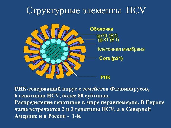 Структурные элементы HCV Оболочка gp 70 (E 2) gp 31 (E 1) Клеточная мембрана