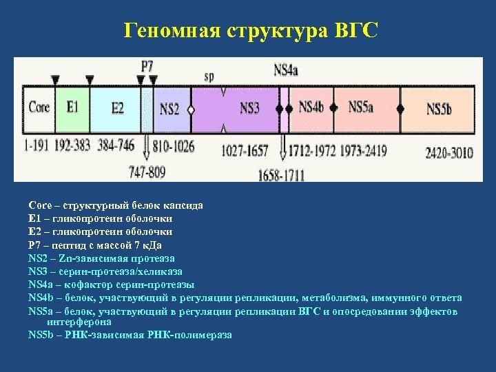 Геномная структура ВГС Core – структурный белок капсида Е 1 – гликопротеин оболочки Е