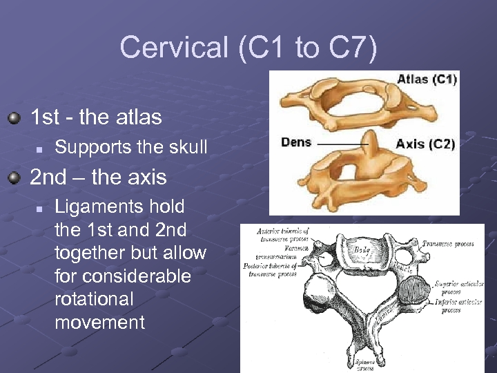 Cervical (C 1 to C 7) 1 st - the atlas n Supports the