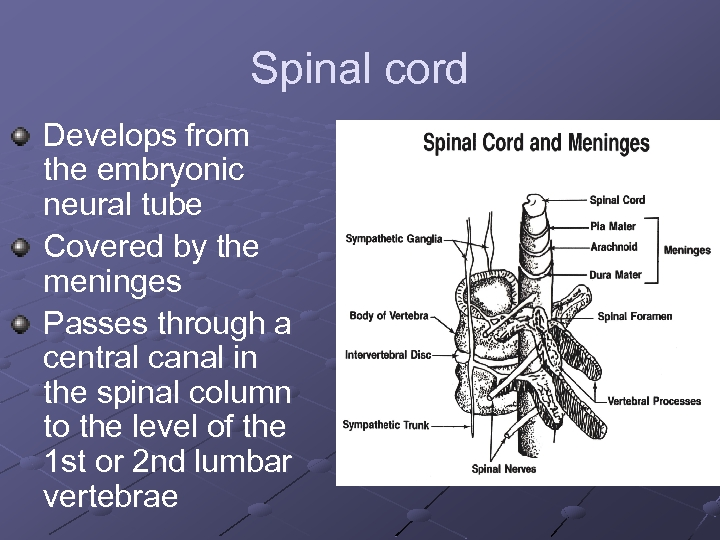 Spinal cord Develops from the embryonic neural tube Covered by the meninges Passes through