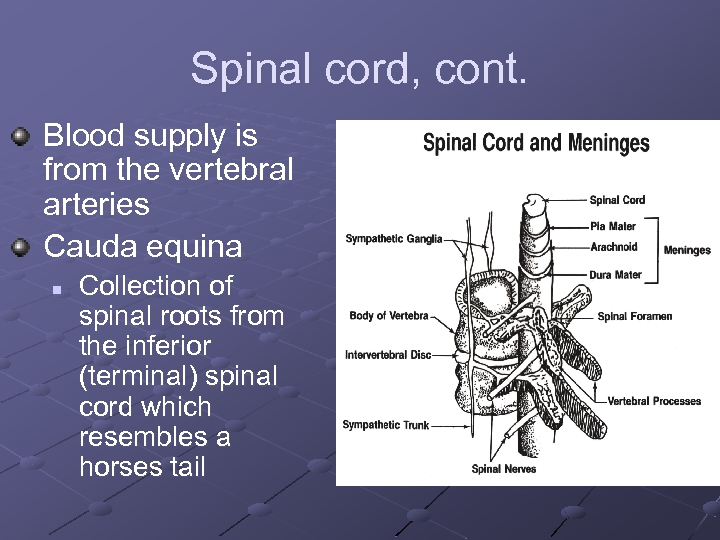 Spinal cord, cont. Blood supply is from the vertebral arteries Cauda equina n Collection