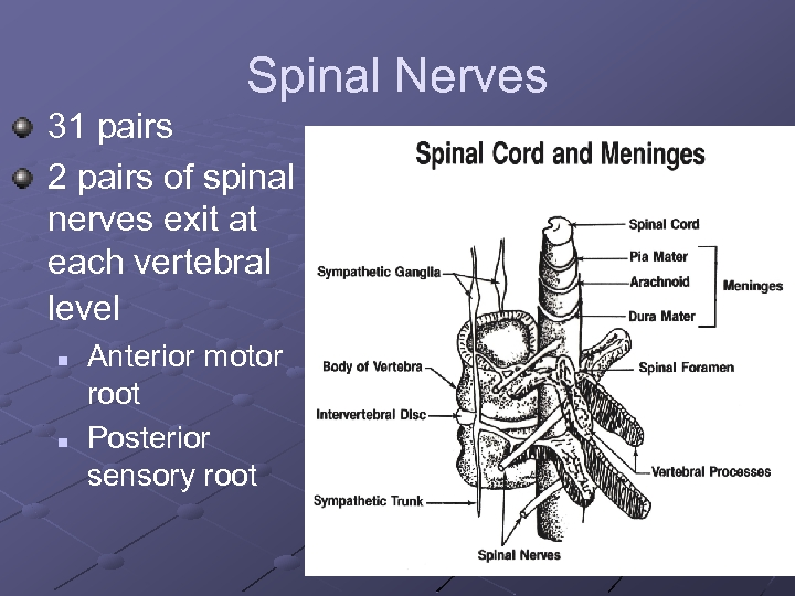 Spinal Nerves 31 pairs 2 pairs of spinal nerves exit at each vertebral level