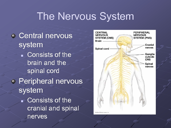 The Nervous System Central nervous system n Consists of the brain and the spinal