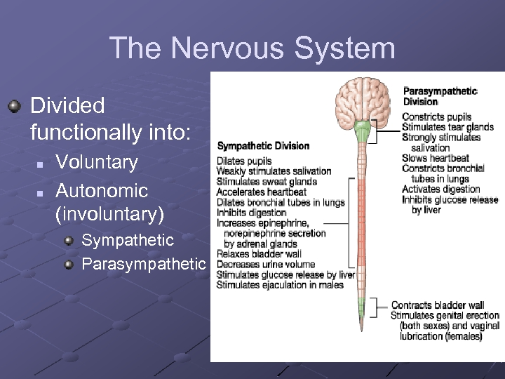 The Nervous System Divided functionally into: n n Voluntary Autonomic (involuntary) Sympathetic Parasympathetic